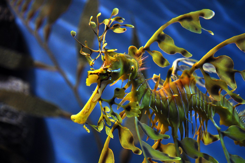 Leafy_sea_dragon_tips-feffe-kaufmann